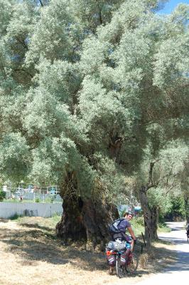Day 28 Olive trees