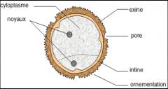schema-d-un-grain-de-pollen.png